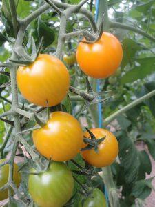 tomate summer sun f1