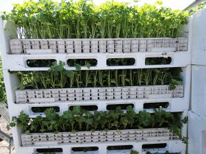 transport von selleriepflanzen